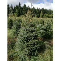 Саджанець Ялина Сербська (Picea omorica) (ОКН-210) за 10-12 л