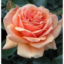 Троянда чайно-гібридна Ашрам (ІТЯ-438)