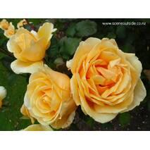Троянда чайно-гібридна Валенсія (ІТЯ-440)