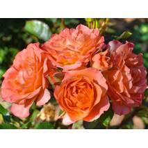 Троянда Спрей Колібрі (ІТЯ-457)