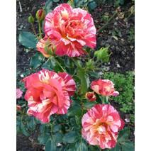 Троянда флорибунда Альфред Сіслей (ІТЯ-446)