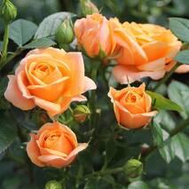 Троянда флорибунда Бернштейн (ІТЯ-450)