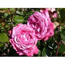 Троянда чайно-гібридна Блю Рівер (ІТЯ-439)
