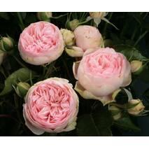 Троянда чайно-гібридна Чармінг Піано (ІТЯ-441)