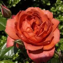 Троянда флорибунда Кантри Хот Кокоа (ІТЯ-444)