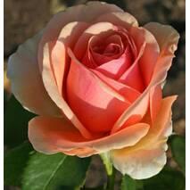 Троянда чайно-гібридна Кінг Конг (ІТЯ-436)