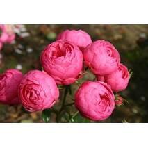 Троянда флорибунда Помпонелла (ІТЯ-445)