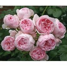Саджанці троянди Сіндерелла (ІТЯ-453)