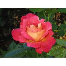 Саджанці троянди Декор Арлекін (ІТЯ-458)