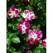 Троянда плетиста Ох Вау (ІТЯ-459)