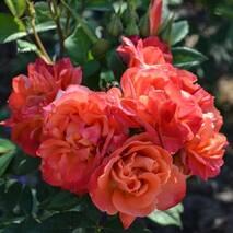 Троянда флорибунда Революшн Флор (ІТЯ-447)