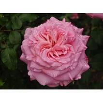 Троянда чайно-гібридна Ешлі (ІТЯ-433)