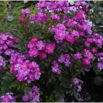 Троянда чайно-гібридна Раймонд Приват (ІТЯ-437)