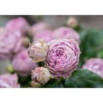 Троянда Спрей Блосом Раблз (ІТЯ-455)