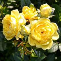 Саджанці троянди Анні Дюпрей (ІТЯ-452)