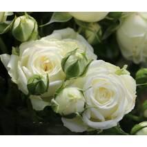 Троянда Спрей Вайт Баблз (ІТЯ-456)