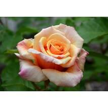 Троянда чайно-гібридна Карамба (ІТЯ-432)