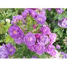 Троянда флорибунда Блю Фо Ю (ІТЯ-442)