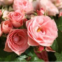 Троянда флорибунда Букет де Марі (ІТЯ-451)