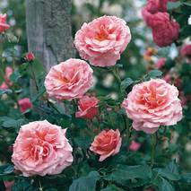 Троянда плетиста Алоха (ІТЯ-17)