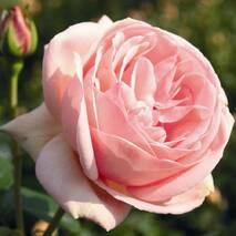 Троянда чайно-гібридна Афродіта (ІТЯ-435)