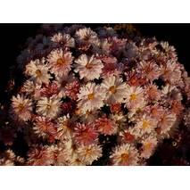 Хризантема Нова Ера (ОКН-3063) за 0,5-1,5 л