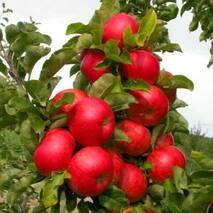 Яблуня колоновидна Готика (ІЯБ-154) за шт.
