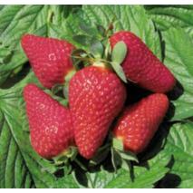 Саджанці полуниці Лічія (Lycia)-солодкий та високоврожайний!