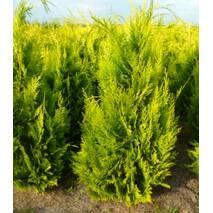 Кипарисовик Лавсона Іvonne 4 годовой 60-80см, Кипарисовик Лавсона Ивонне, Chamaecyparis lawsoniana Іvonne