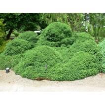 Ялина звичайна Pygmaea 4 річна, Ель обыкновенная / европейская Пигмея, Picea abies Pygmaea