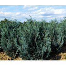 Кипарисовик Лавсона Blom 4 годовой 50-70см, Кипарисовик Лавсона Блом / Блум, Chamaecyparis lawsoniana Blom