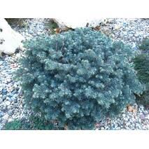 Ель черная Waldbrun 2 годовая, Ель колючая голубая Вальдбрун, Picea pungens Waldbrunn