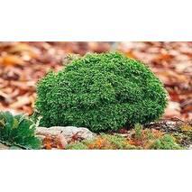 Кипарисовик горохоплідний Hime Sawara 3 річний, Кипарисовик горохоплодный Хайм Савара, chamaecyparis pisifera