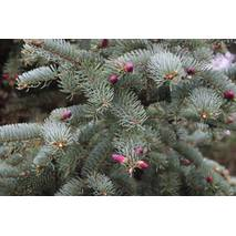 Ялина корейська Nakai 2 річна, Ель корейская Накаи, Picea koraiensis Nakai