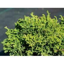 Кипарисовик горохоплідний Hime Sawara 3 річний, Кипарисовик горохоплодн�