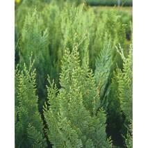 Кипарисовик Лавсона White spot 2 річний, Кипарисовик Лавсона Вайт Спот, Chamaecyparis Lawsoniana White spot