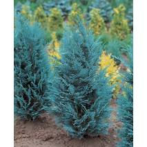 Кипарисовик Лавсона Pelt's Blue 3 годовой, Кипарисовик Лавсона Пельтс Блю Chamaecyparis lawsoniana Pelt's Blue