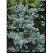 Ель голубая Kaibab 4 годовая 40-50cм, Ель колючая голубая Кейбаб, Picea Pungens Glauca Kaibab