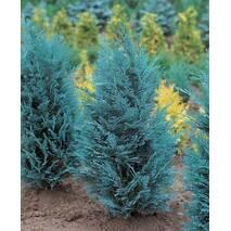 Кипарисовик Лавсона Pelt's Blue 2 годовой, Кипарисовик Лавсона Пельтс Блю Chamaecyparis lawsoniana Pelt's Blue