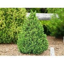 Ель канадская Conica 3 годовая, Ель канадская Коника, Picea glauca Conica