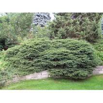 Ялина звичайна Nidiformis 5 річна, Ель обыкновенная / европейская Нидиформис, Picea abies Nidiformis
