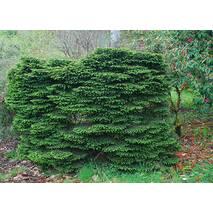 Ялина звичайна Nidiformis 3 річна, Ель обыкновенная / европейская Нидиформис, Picea abies Nidiformis
