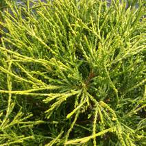 Кипарисовик горіхоплідний Sungold 3 годовой, Кипарисовик горохоплодный Санголд, Chamaecyparis pisifera Sungold