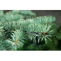 Ель голубая колючая Glauca 3 годовая, Ель колючая голубая Глаука  Picea pungens Glauca