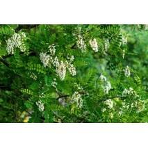 Софора японська 2 річна, Софора японская, Styphnolobium japonicum