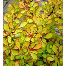 Барбарис Тунберга Diabolicum 3 річний, Барбарис Тунберга Диаболикум, Berberis thunbergii Diabolicum