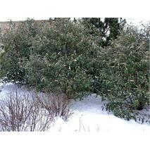 Калина морщинистолистна 2 річна, Калина морщинистолистная / Пражская, Viburnum rhytidophyllum