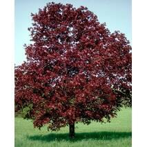 Клен гостролистий Royal Red (привитий) 2 річний, Клен остролистный Роял Ред, Acer platanoides Royal Red