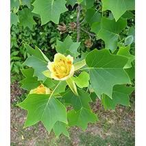 Тюльпанове дерево 2 річне, Тюльпановое дерево Лириодендрон,Liriodendron tulipifera