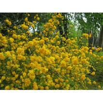 Керія японська Pleniflora 2 річна, Керрия японская / махровая Пленифлора, Kerria japonica Pleniflora